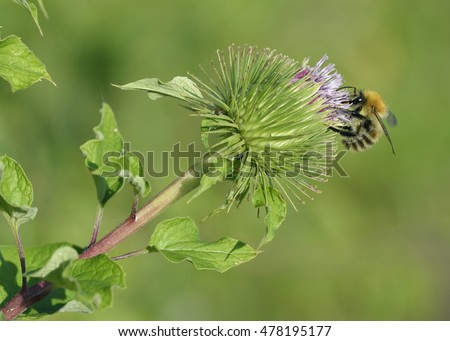 Greater Burdock - Arctium lappa