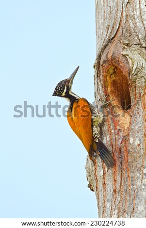 Greater flame back female woodpecker in nature blue background. - stock photo