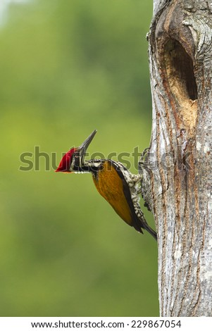 Greater Flameback woodpeckers male greenbackground in nature. - stock photo