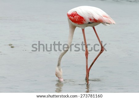 Greater Flamingo eating food