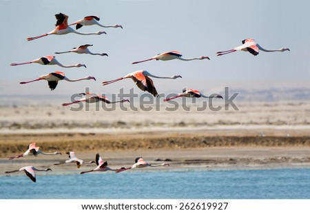 Greater Flamingo, Phoenicopterus roseus. Photographed in flight at the salt-works evaporation ponds just north of Swakopmund Namibia.