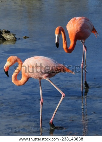 Greater Flamingos feeding in a lake on one of the Galapagos islands. - stock photo