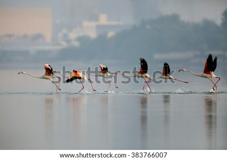 Greater Flamingos running to fly
