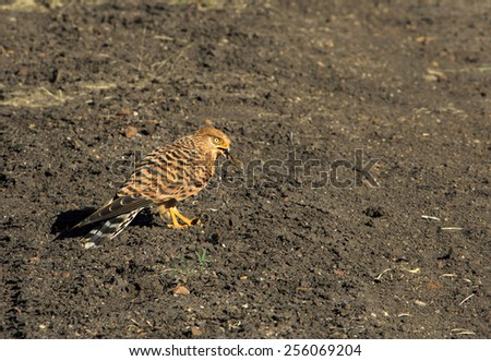 greater Kestrel eating a dragonfly on the ground - stock photo