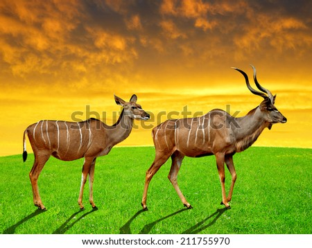 greater kudu in the sunset - stock photo