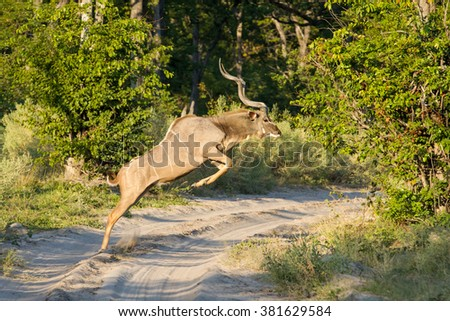 Greater Kudu Male jumping across sandy road in Etosha National Park in Namibia - stock photo