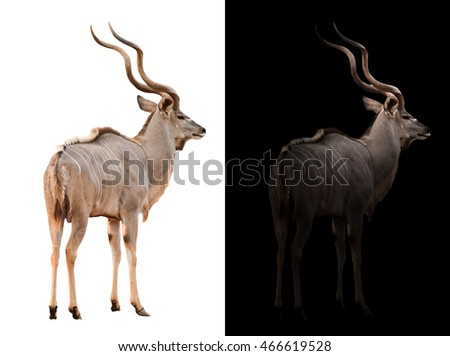 greater kudu stand in the dark with spotlight and greater kudu isolated