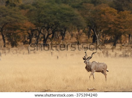 Greater Kudu Tragelaphus strepsiceros,big african antelope with twisted horns, male in dry african savanna with blurred trees in background, comming to waterhole .   - stock photo