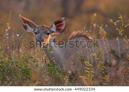 greater kudu, tragelaphus strepsiceros, Kruger national park, South Africa - stock photo