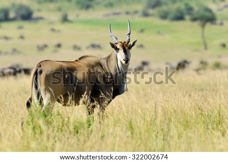 Greater kudu (Tragelaphus strepsiceros). Wild life animal of Africa - stock photo
