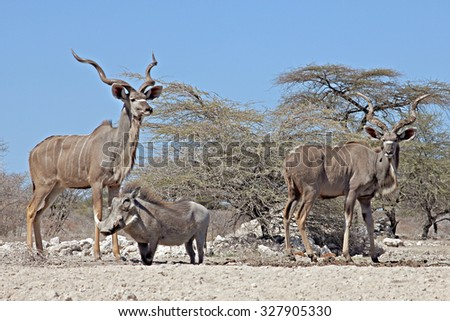 Greater Kudus (Tragelaphus strepsiceros) and Warthog (Phacochoerus africanus) at a waterhole in Onguma Game Reserve, Namibia