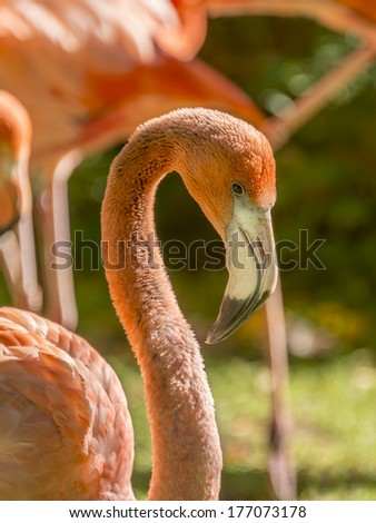 Greater male Flamingo grooming (Phoenicopterus ruber specie) - stock photo