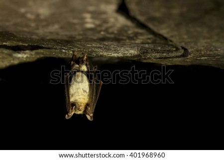 Greater mouse-eared bat hanging on the top of the dark cave while hibernating with black background and colored bokeh. Wildlife photography. - stock photo