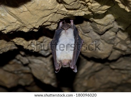 Greater mouse eared bat (Myotis myotis) - stock photo