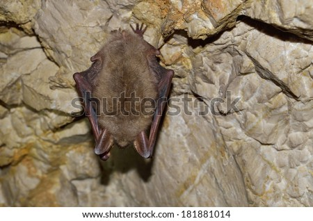 Greater mouse-eared bat ( Myotis myotis) - stock photo