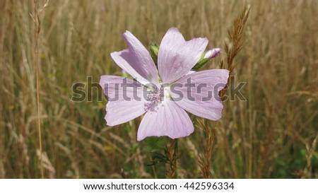 Greater musk-mallow flower - stock photo