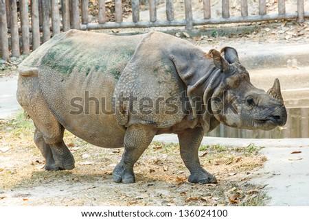 Greater One-horned Rhinoceros (Indian Rhinoceros),Rhinoceros unicornis - stock photo