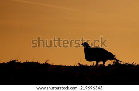Greater Sage Grouse, Centrocercus urophasianus endangered / threatened species skyline silhouette sunrise / sunset image with room for text / copy upland game bird hunting in the western United States