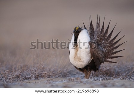 Greater Sage Grouse, Centrocercus urophasianus  performing spring mating display on the lek (breeding grounds) endangered / threatened species  upland game bird hunting in the western United States - stock photo
