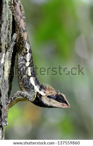 Greater spiny lizard, Acanthosaura armata, black faced lizard, masked spiny lizard, tree lizard, acanthosaura crucigera boulenger, monster lizard, blue lizard, green lizard - stock photo