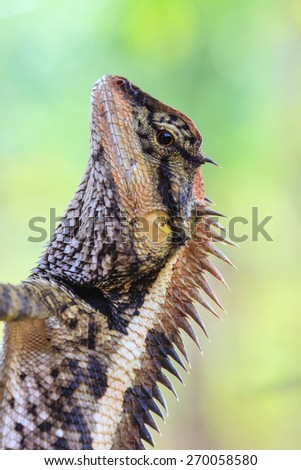 Greater spiny lizard, Acanthosaura armata, black faced lizard, masked spiny lizard, tree lizard - stock photo