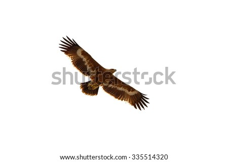 Greater spotted Eagle adult underwing flying in the nature. - stock photo