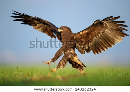 Greater Spotted Eagle in landing - stock photo