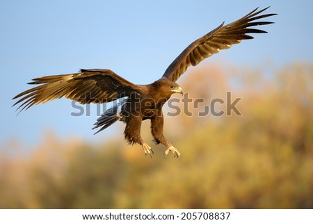Greater Spotted Eagle landing