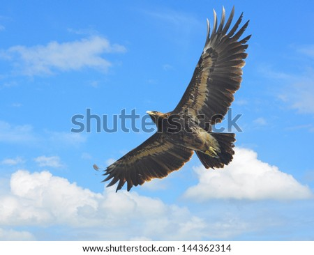 Greater Spotted Eagle showing wing spread  on sky Backdrop