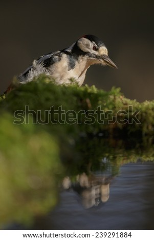 Greater spotted woodpecker checking his reflection - stock photo