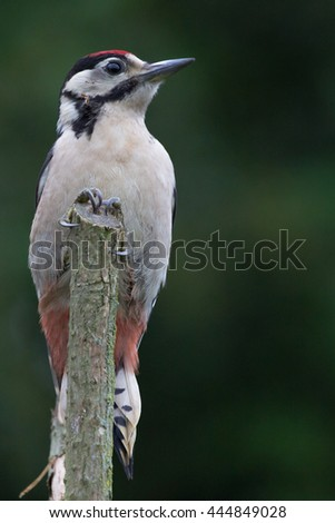 Greater Spotted Woodpecker On Perch - stock photo