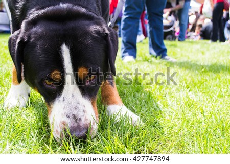 Greater Swiss Mountain Dog On A Walk In A Park - stock photo