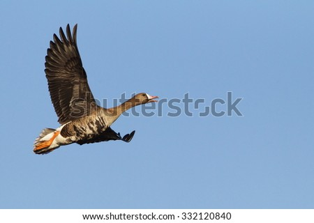 Greater White-fronted Goose, a.k.a. Specklebelly Goose, in flight against a blue sky Anser albifrons Goose and duck hunting in the Pacific and Central Flyways