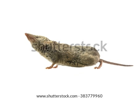 Greater White-toothed shrew (Crocidura russula) pointing its nose in the air, isolated on white background - stock photo