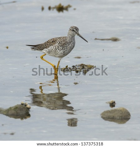 Greater Yellowlegs found wading in Lyme Connecticut. - stock photo