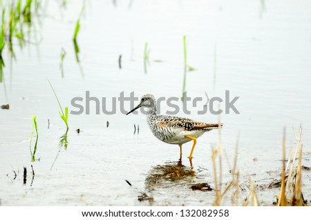 Greater Yellowlegs is looking for food - stock photo
