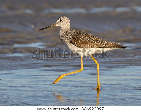 Greater yellowlegs (Tringa melanoleuca) wading in the shallow water of tidal marsh, Galveston, Texas, USA
