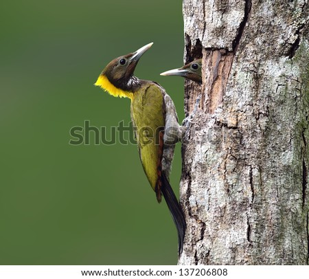 Greater Yellownape, Yellow-naped Woodpecker, picus flavinucha, bird of Thailand, feeding its chicks on clear green background - stock photo