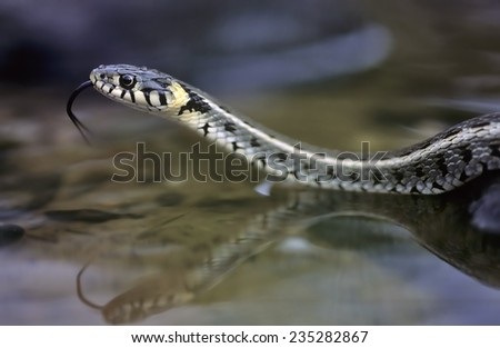 Greece, Grass snake