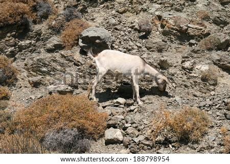 Greece, Kos, a goat on the rocks - stock photo