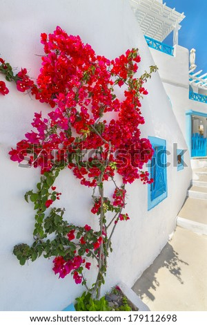 Greece Santorini island in cyclades traditional view of colorful bougainvillea flowers  in thira by narrow whitewashed walk paths at summer during daylight - stock photo