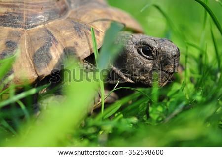Greek land tortoise - stock photo