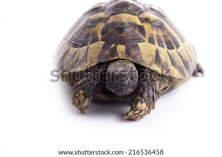Greek land turtoise, Testudo Hermanni, white studio background - stock photo