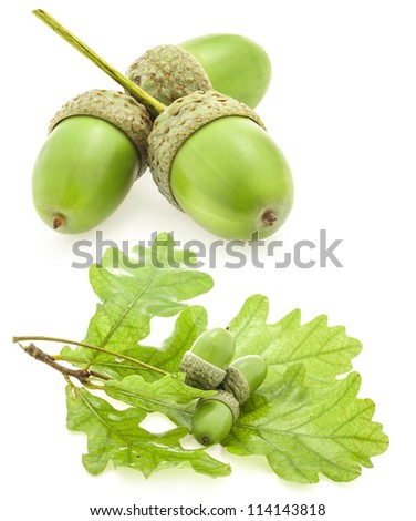 Green acorn fruits with an oak leaf isolated on white background - stock photo