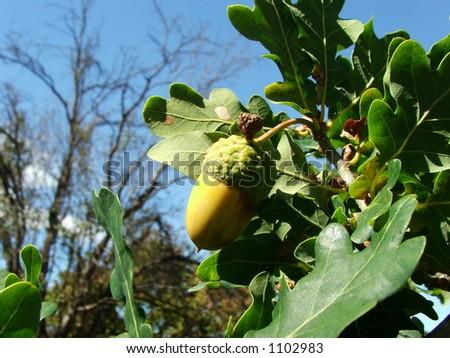 Green acorn on oak tree - stock photo