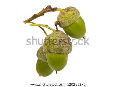 green acorns isolated on white background - stock photo