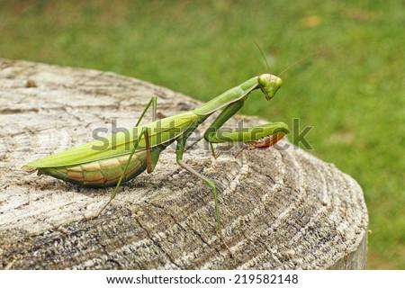 green adult female of european mantis - stock photo