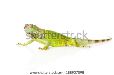 green agama in profile. isolated on white background - stock photo