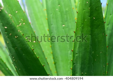 Green agave leaves closeup, main focus on thorns on the right.  - stock photo