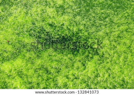 Green algae growing on the water's surface